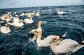 Fou de Bassan (Morus bassanus), posés sur la mer à proximité de leur colonie sur l'ile de Noss aux Shetlands