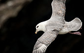 Northern Fulmar (Fulmarus glacialis), flying over the colony of Sumburgh Head in the Shetlands Islands