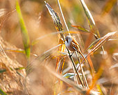 Bearded reedling (Panurus biarmicus) on reed (Phragmites sp) in autumn in a reedbed, Locmiquélic, Brittany, France