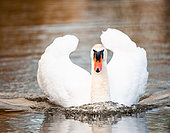 Mute swan (Cygnus olor,) curious, on a body of water.