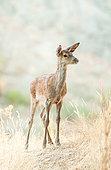 Red Deer (Cervus elaphus), fawn in dry grass, Monfragüe National Park, Spain