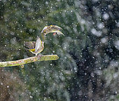 Greenfinch (Chloris chloris), fighting in winter under the snow close to a feeder