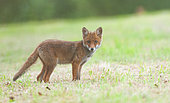 Red fox (Vulpes vulpes), curious young fox in a clearing in countryside, Brittany, France