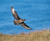 Great skua (Stercorarius skua) in flight on the colony on Runde Island, Norway
