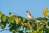 Goldfinch (Carduelis carduelis) on a hazelnut tree in the countryside, Brittany, France