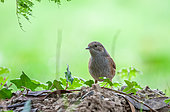 Dunnock (Prunella modularis) on ground, Pordic, Bretagne, France
