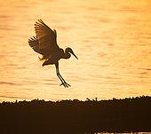 Little Egret (Egretta garzetta), set against the light on an oyster park in the Gulf of Morbihan, Brittany, France