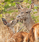 Red Deer (Cervus elaphus), moment of tenderness between a mother and her young in Monfragüe National Park, Spain