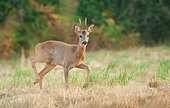 Roe Deer (Capreolus capreolus), buck in a meadow in the countryside, Brittany, France