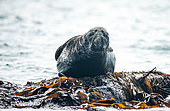 Gray seal (Halichoerus grypus), male in seaweed, 7 Islands Archipelago, Brittany, France