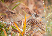 Reed Bunting (Emberiza schoeniclus) on reed (Phragmites sp) in autumn in a reedbed, Locmiquélic, Brittany, France