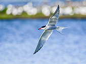Common tern (Sterna hirundo) fishing in flight in the marshes of the island of Noirmoutier, Vendée, France