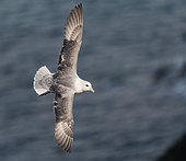Northern Fulmar (Fulmarus glacialis) in flight over the colony of Sumburgh Head in the Shetlands Islands.
