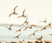 Common Ringed Plover (Charadrius hiaticula) and Dunlin (Calidris alpina) flying on a beach in Morbihan at sunset, Brittany, France