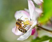 Honey bee (Apis mellifera) gathering an apple blossom, France