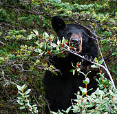 Black bear (Ursus americanus) eating berry, Rocky Mountains, Canada