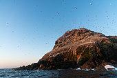 Rouzic Island, colony of 22 000 Northern Gannets (Morus bassana), archipelago of the 7 islands, Brittany, France