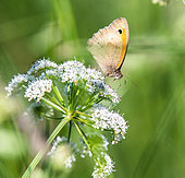 Small Heath (Coenonympha pamphilus) on a flower in a meadow, Brittany, France