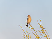 Eurasian linnet (Linaria cannabina) perched in the Guérande marshes, Loire Atlantique, France