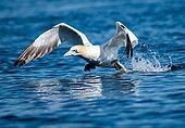 Fou de Bassan (Morus bassanus), décollant dans l'archipel des 7 iles, Bretagne, France