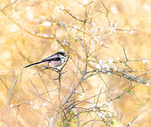 Long-tailed Tit (Aegithalos caudatus) in blooming blackthorn on a spring evening