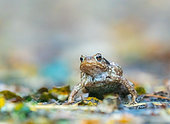Common Toad (Bufo bufo) hunting on forest litter