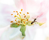 Garden ant (Lasius niger) prospecting an apple blossom in search of nectar or aphid