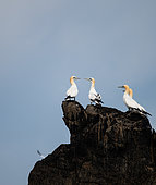 Northern Gannet (Morus bassanus) in a group on rocks in the archipelago of the 7 islands, Brittany, France