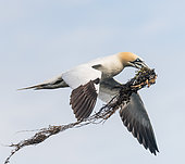 Northern Gannet (Morus bassanus) bringing algae for its nest to the 7 islands, Brittany, France