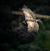 Griffon vulture (Gyps fulvus), flying in Monfragüe National Park, Spain