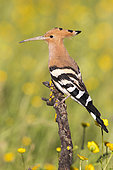 Eurasian Hoopoe (Upupa epops), side view of an adult perched on a branch, Campania, Italy
