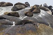 Cape Fur Seal (Arctocephalus pusillus), individuals resting on a rock, Western Cape, South Africa