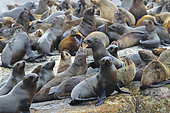 Cape Fur Seal (Arctocephalus pusillus), a colony in Hout Bay, Western Cape, South Africa