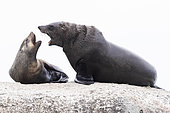 Cape Fur Seal (Arctocephalus pusillus), , Western Cape, South Africa