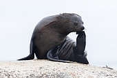 Cape Fur Seal (Arctocephalus pusillus), adult female scratching its head, Western Cape, South Africa