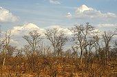 Leafless Leadwood trees (Combretum imberbe) during the winter dry season, Moremi National Park, Botswana, Africa