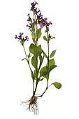Red campion (Lychnis coronaria) on white background, Germany, Europe