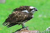 Osprey (Pandion haliaetus) with prey on rock