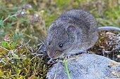 European Snow Vole (Chionomys nivalis)