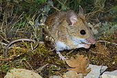 Long-tailed field mouse (Apodemus sylvaticus) eating