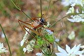 Bushcricket (Ephippiger diurnus) on flowers