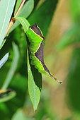 Sallow Kitten (Furcula furcula) caterpillar on a leaf