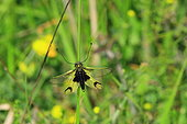 Butterfly-lion (Libelloides longicornis) on a stem