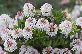 Rhododendron Bloombux