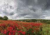 Field of Poppies in bloom on the Opal Coast in spring, Hervelinghen, Hauts de France, France