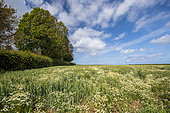 Wild chamomile growing in a barley field in spring, Pas de Calais, France