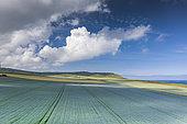 Linen field on the Opal Coast in spring, Cap Blanc-Nez, Hauts de France, France