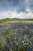 Cornflower blossoms on the edge of a field, Escalles, Hauts de France, France