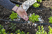 Placement of broken eggshells around salads to prevent slugs in summer, Pas de Calais, France