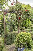 Rose growing on an arbour in a spring garden, Pas de Calais, France